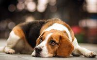 Beagle [4] wallpaper 2560x1600 jpg