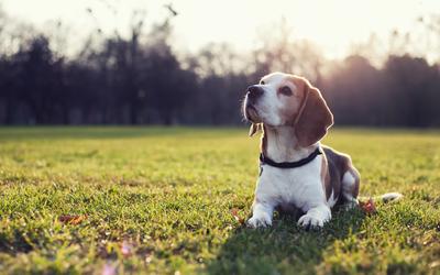 Beagle [3] wallpaper