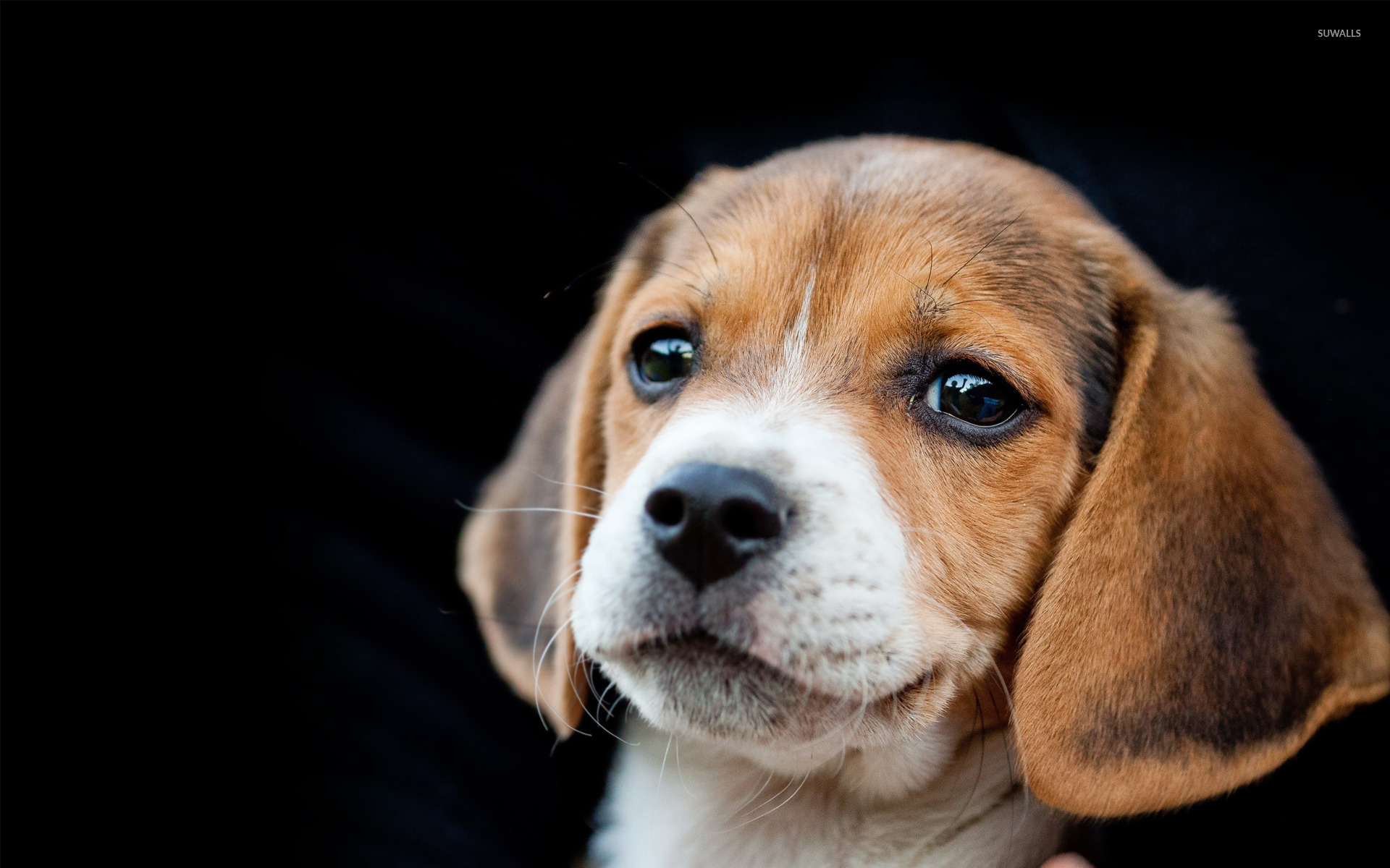 Beagle puppy wallpaper - Animal