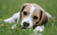 Beagle puppy [2] wallpaper 2560x1600 jpg
