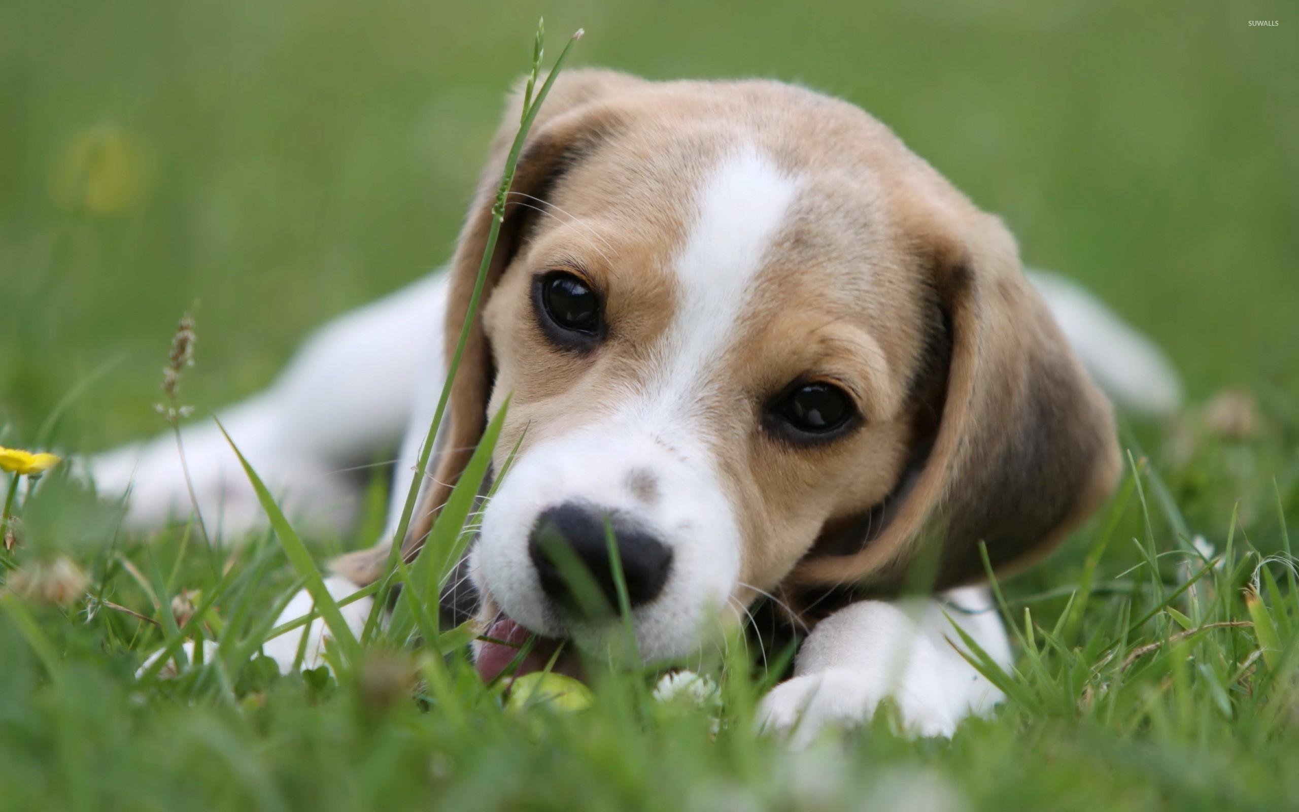 Beagle puppy 2 wallpaper animal wallpapers 21619