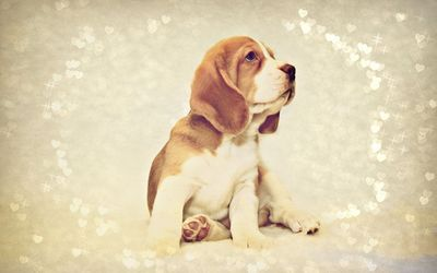 Beagle puppy [4] wallpaper