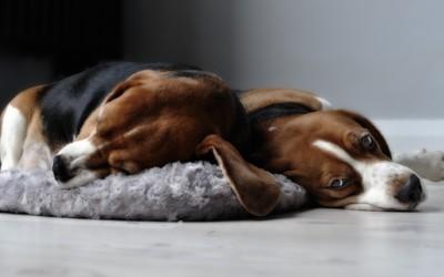 Beagles wallpaper