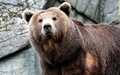 Bear [3] wallpaper