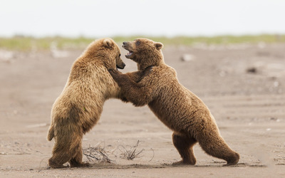 Bear cubs fighting wallpaper