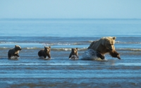 Bear fishing with her 3 cubs wallpaper 1920x1080 jpg