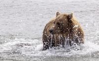 Bear splashing in the water wallpaper 1920x1200 jpg