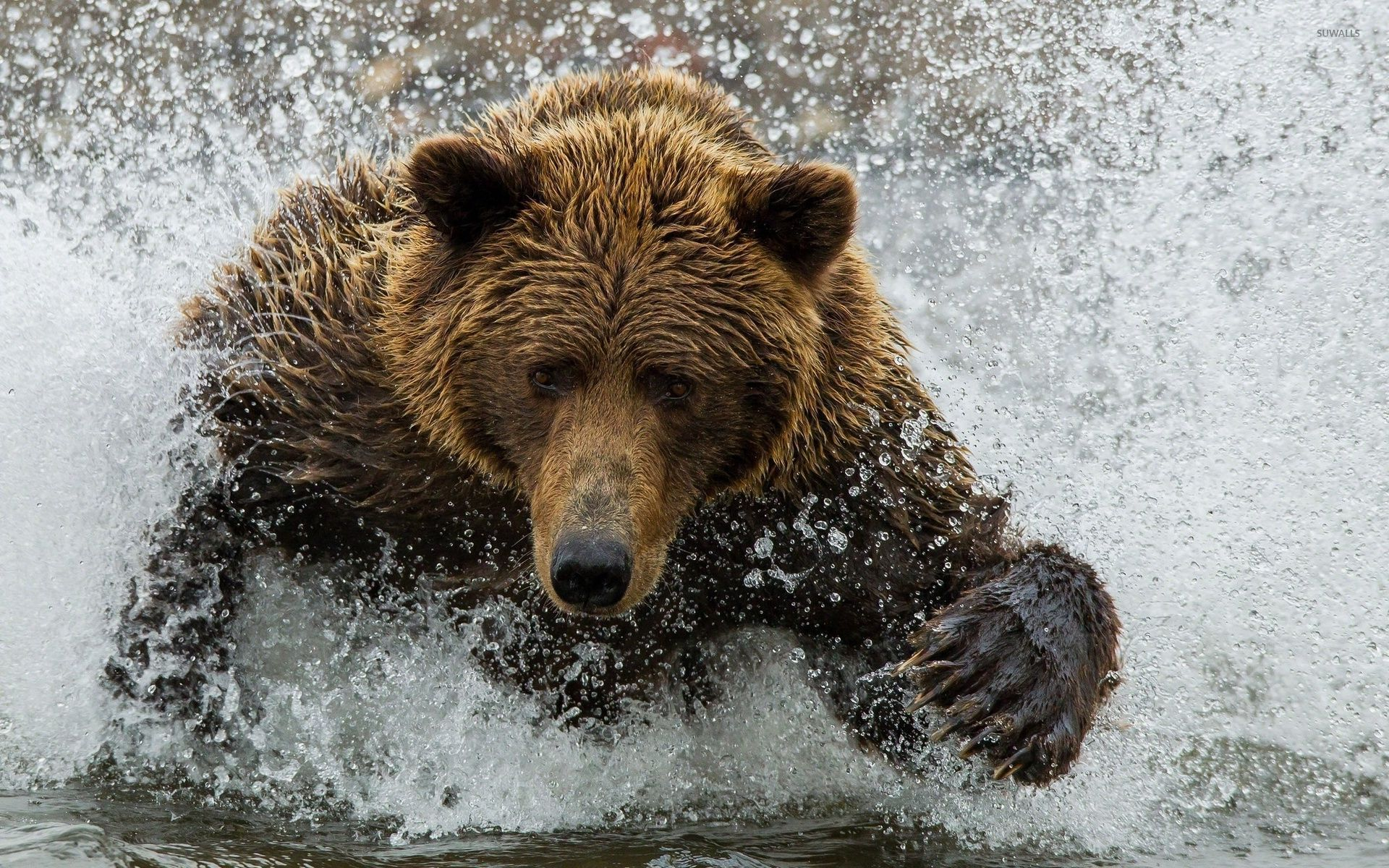 bear splashing in the water wallpaper - animal wallpapers - #54386