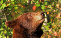 Bear trying to reach the fruits in a tree wallpaper 1920x1200 jpg