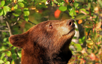 Bear trying to reach the fruits in a tree wallpaper