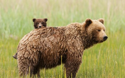 Bear with cubs wallpaper