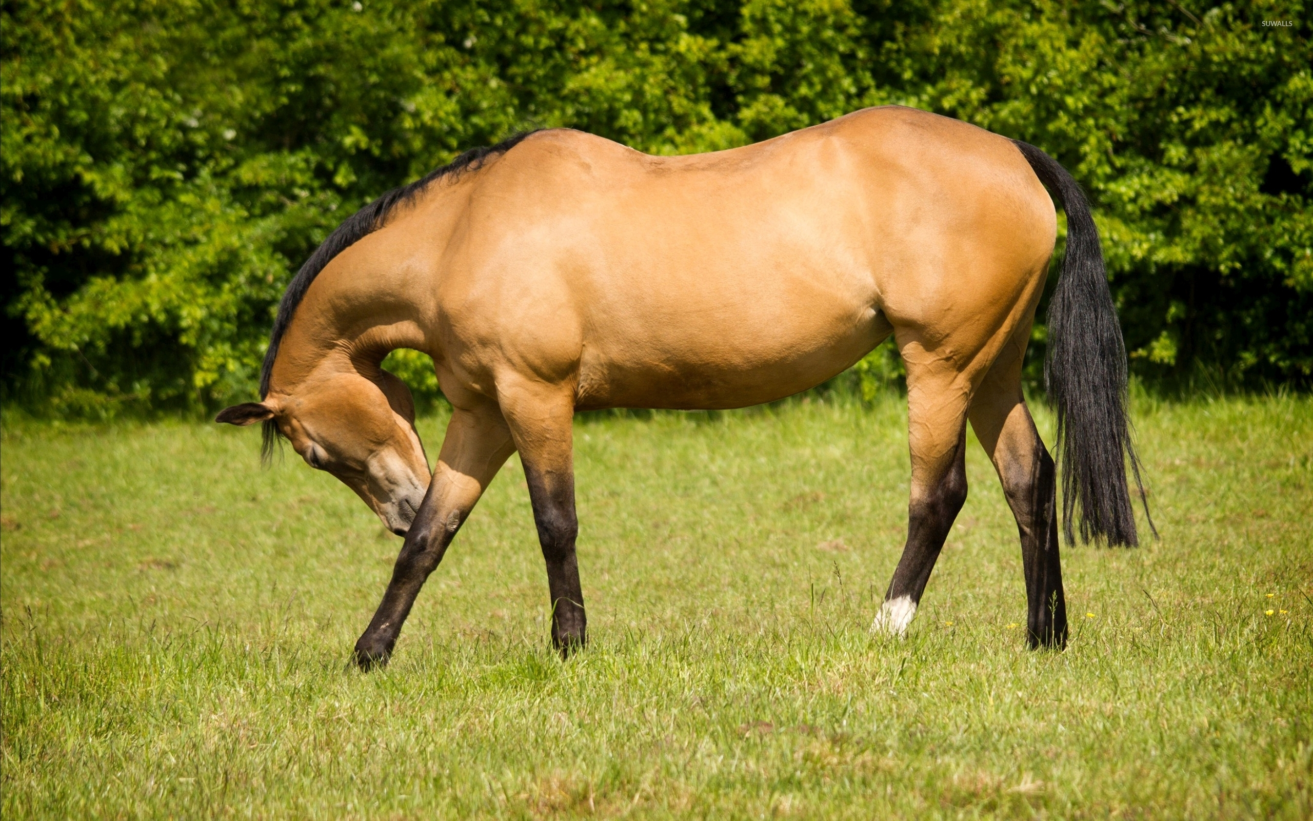Beautiful Brown Horse Taking A Bow Wallpaper Animal Wallpapers 47851
