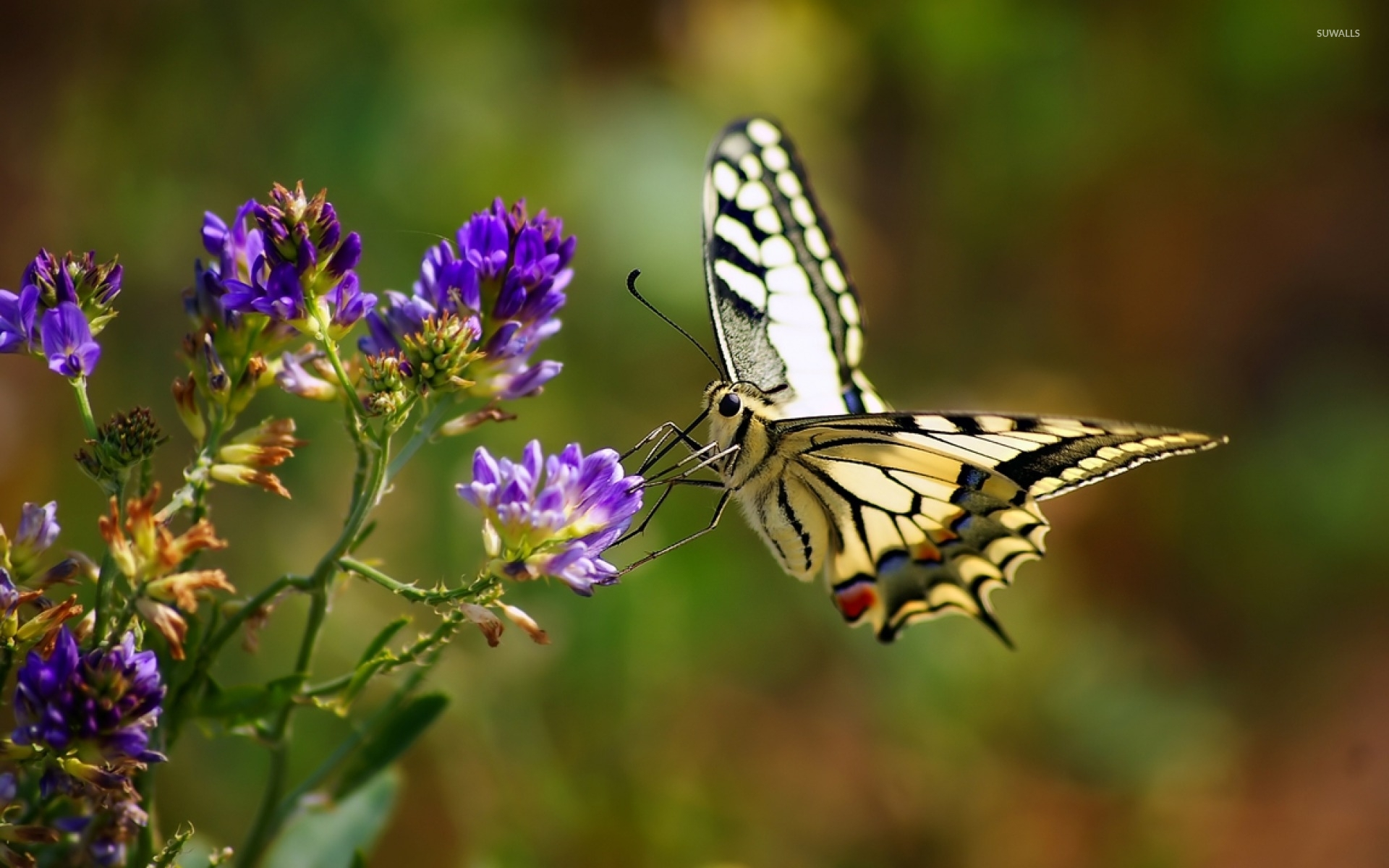 Beautiful Butterfly Wallpaper Animal Wallpapers 33940