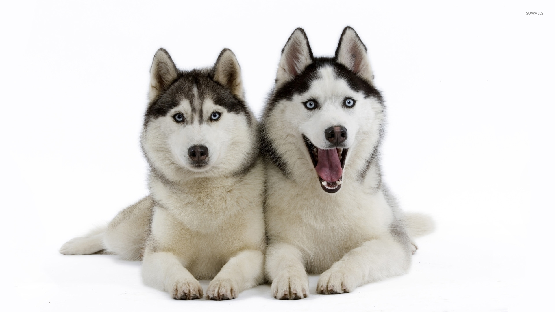 beautiful siberian husky puppies wallpaper animal