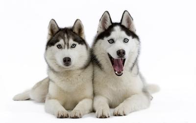 Beautiful Siberian Husky puppies wallpaper