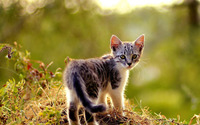 Beautiful small kitten wallpaper 1920x1200 jpg