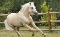 Beautiful white horse running wallpaper 1920x1080 jpg