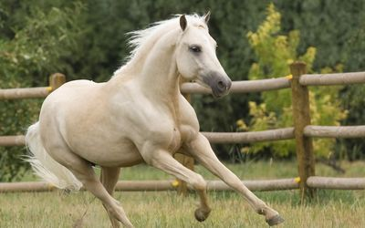 Beautiful white horse running wallpaper