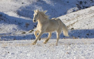 Beautiful white horse running in the snow wallpaper