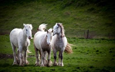 Beautiful white horses on green field wallpaper