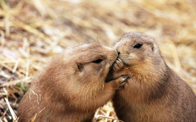 Beavers kissing wallpaper