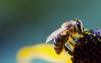 Bee [2] wallpaper 1920x1200 jpg