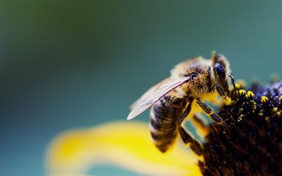 Bee [2] wallpaper