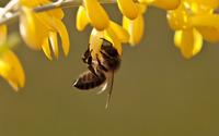 Bee [7] wallpaper 1920x1200 jpg