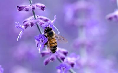 Bee [8] wallpaper