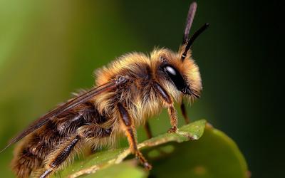 Bee [10] wallpaper