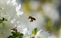 Bee [16] wallpaper 1920x1200 jpg