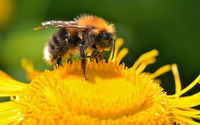 Bee [17] wallpaper 1920x1200 jpg