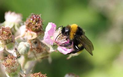 Bee [12] wallpaper