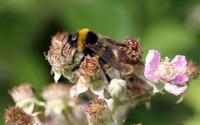 Bee [13] wallpaper 1920x1200 jpg
