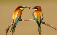 Bee-eaters wallpaper 1920x1080 jpg