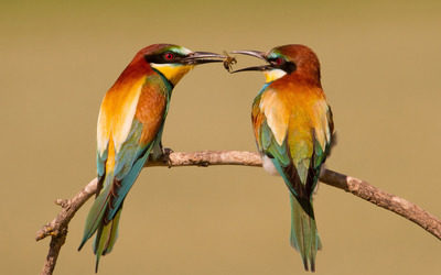 Bee-eaters wallpaper