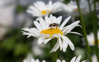 Bee on a daisy [2] wallpaper 2560x1600 jpg