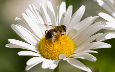 Bee on a daisy wallpaper