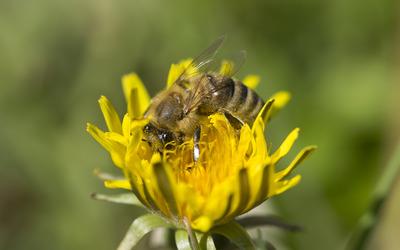 Bee on a dandelion [2] wallpaper