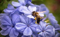 Bee on a hydrangea wallpaper 1920x1200 jpg