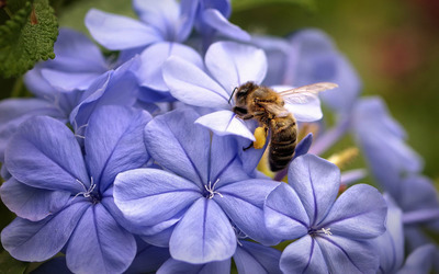 Bee on a hydrangea wallpaper