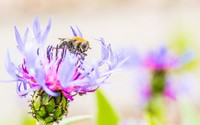 Bee on a knapweed wallpaper 2560x1600 jpg