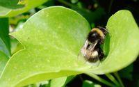 Bee on a leaf wallpaper 2560x1600 jpg