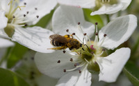 Bee on a pear blossom wallpaper 2880x1800 jpg