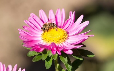 Bee on a pink China aster wallpaper