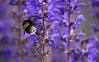 Bee on a purple flower wallpaper 2560x1600 jpg