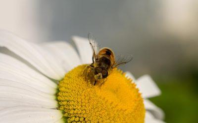 Bee on a sunlit daisy wallpaper