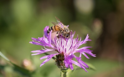 Bee on a sunlit flower wallpaper