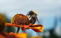 Bee on an orange flower wallpaper 3840x2160 jpg