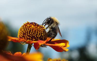 Bee on an orange flower wallpaper
